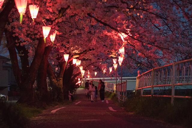 CherryBlossoms_35