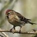 Lesser Redpoll perching