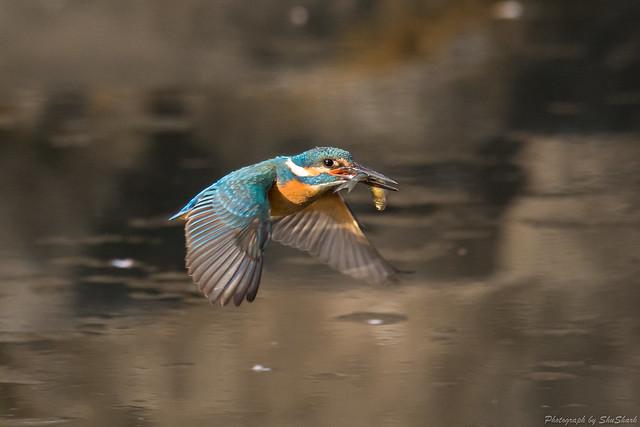 20180331-kingfisher-DSC_0725