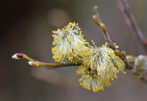 Salix caprea - saule marsault, saule des chèvres 39620636330_8d0cc84c46