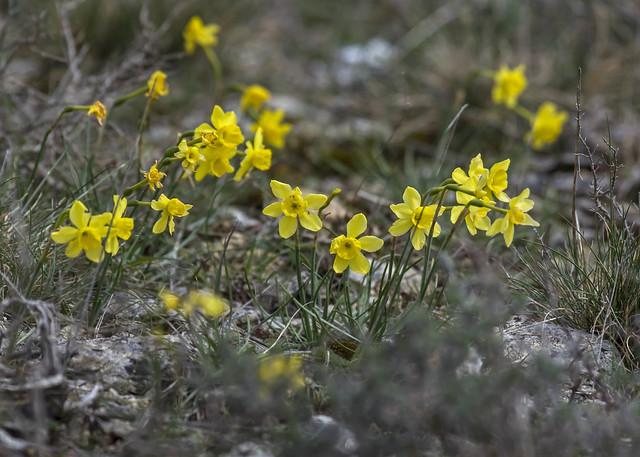 Narcissus assoanus - narcisse d'Asso 40549227525_03b369cba5_z