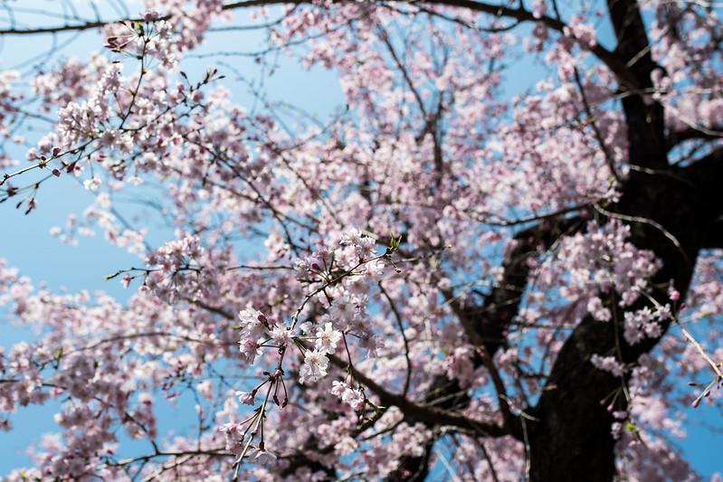 北千住・長圓寺の枝垂れ桜