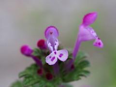 Henbit dead-nettle flowers (トケノザ) flowers