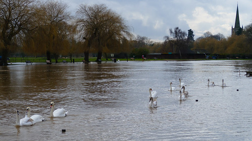 Swollen river with line of swans