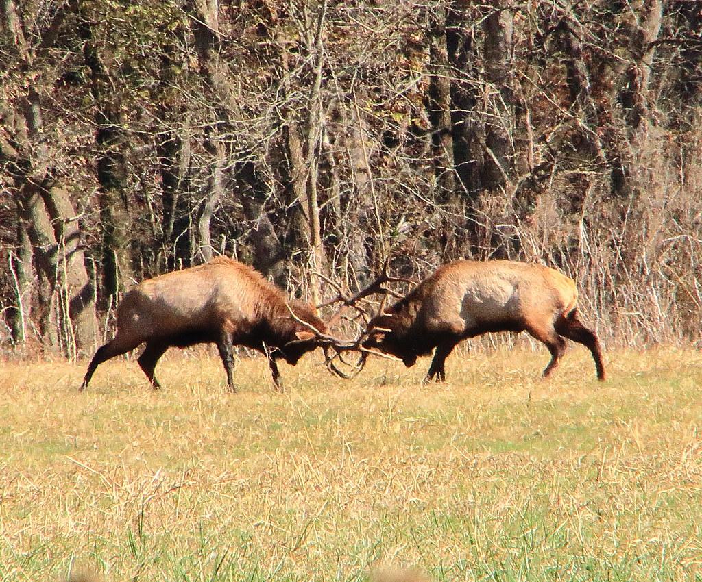 Boxley Valley Arkansas Map.Bull Elk Fight Boxley Valley Northwest Arkansas Flickr