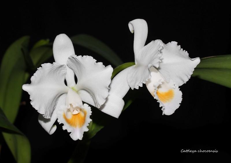Cattleya chocoensis 40943154621_c5cafef6b5_c