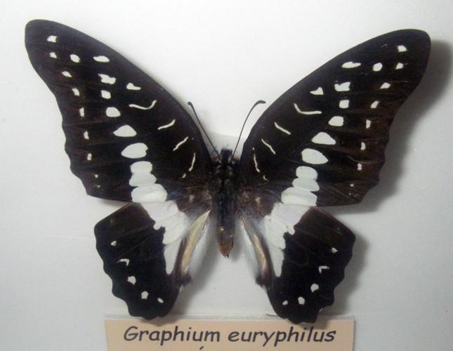 Graphium eurypylus 40951715841_153a368182_o