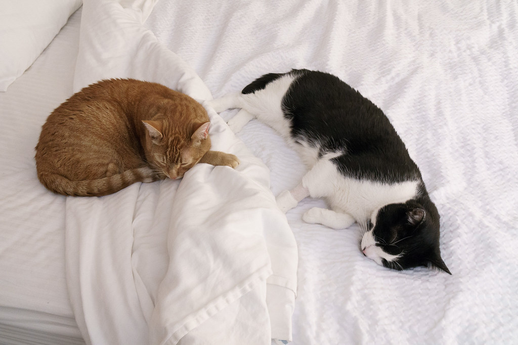 Our cats Sam and Boo sleep on a hotel bed in Redding, California