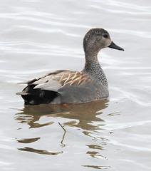 Gadwall Drake - Druridge Ponds