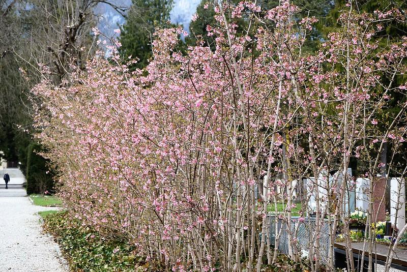 Japanese CherryTrees 03.04.2018