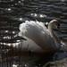 mute swan by MaggyN
