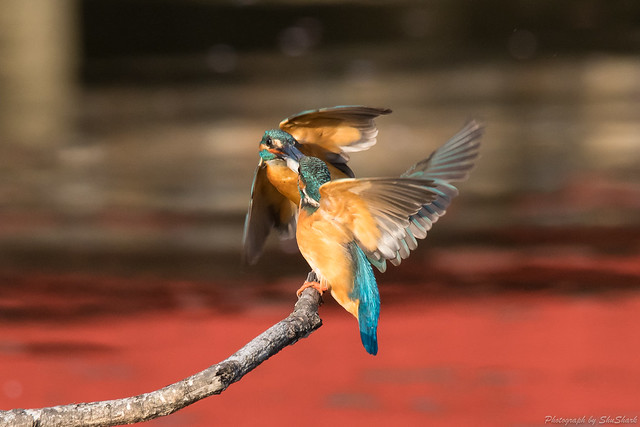 20180331-kingfisher-DSC_0771