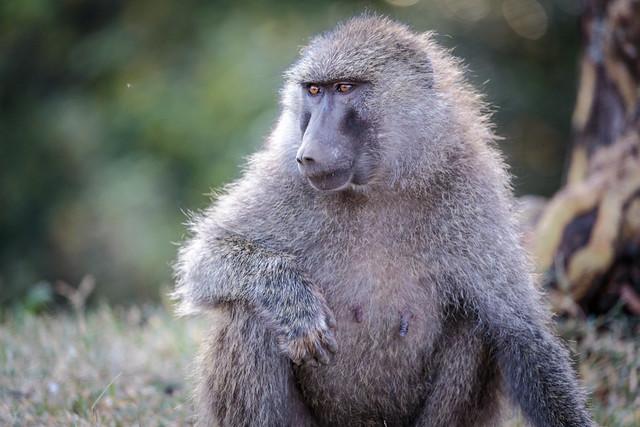 The Curious Baboon