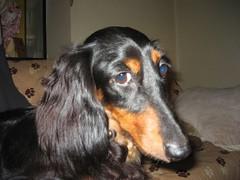 dog breed, animal, dog, saluki, pet, setter, dachshund, carnivoran,