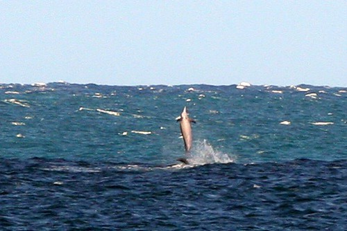 spinner dolphins spotted first by grandpa's eagle eyes?