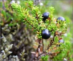 evergreen, juniper berry, berry, branch, tree, plant, flora, fruit, empetrum,
