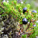 Small photo of Northern Crowberry
