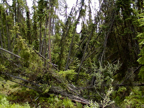 阿拉斯加費爾班克斯地區的「醉林」(drunken forests)。因地底永凍土融化,導致樹木像醉漢一樣東倒西歪。(圖片:ldrose)