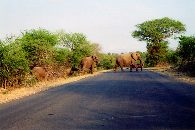 Elephants barge their way across the road