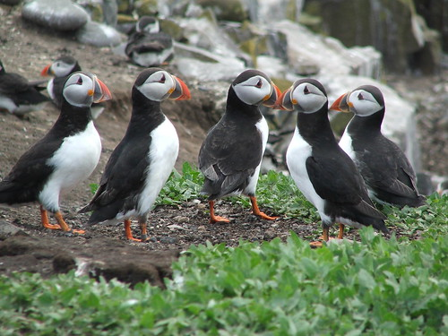 Anyone seen any Puffins?