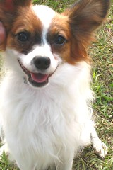 king charles spaniel(0.0), cavalier king charles spaniel(0.0), dog breed(1.0), animal(1.0), kooikerhondje(1.0), dog(1.0), pet(1.0), phalã¨ne(1.0), papillon(1.0), carnivoran(1.0),