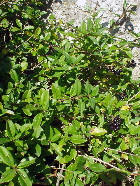 wild privet ligustrum vulgare on the purbeck coast. Black Bedroom Furniture Sets. Home Design Ideas