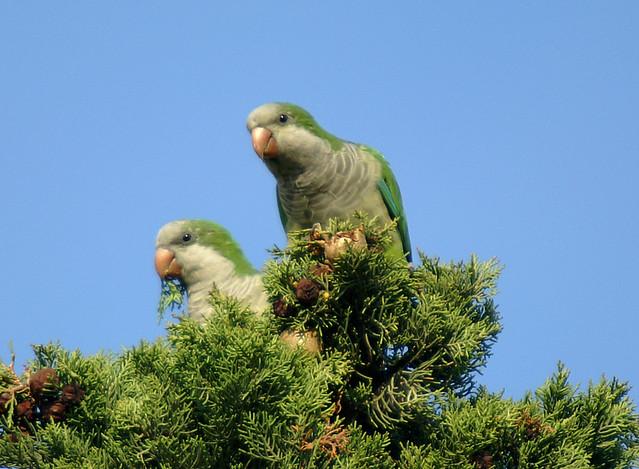 cotorritas argentinas 04 Monk Parakeet, Myiopsitta monachus