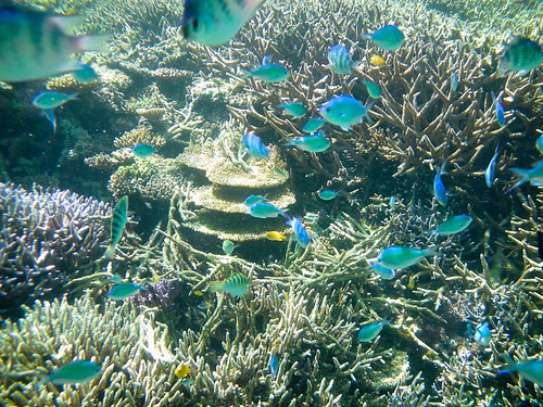 Snorkeling with colourful fish of tropical Japan