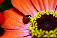 zinnia with ladybug    MG 2782