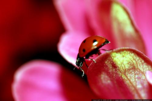 ladybug profile on a pink zinnia flower    MG 2792