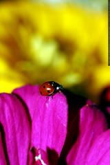 ladybug, pink & yellow zinnia    MG 2852