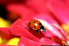 ladybug on a red zinnia petal    MG 2864