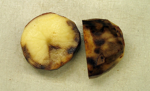 Late blight of potato