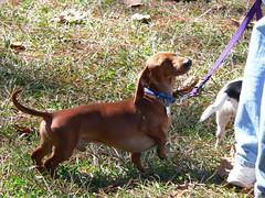 segugio italiano(0.0), harrier(0.0), bavarian mountain hound(0.0), redbone coonhound(0.0), treeing walker coonhound(0.0), english foxhound(0.0), american foxhound(0.0), finnish hound(0.0), hamiltonstã¶vare(0.0), estonian hound(0.0), english coonhound(0.0), hunting dog(0.0), polish hunting dog(0.0), serbian tricolour hound(0.0), dog breed(1.0), animal(1.0), hound(1.0), dog(1.0), pet(1.0), carnivoran(1.0), coonhound(1.0),