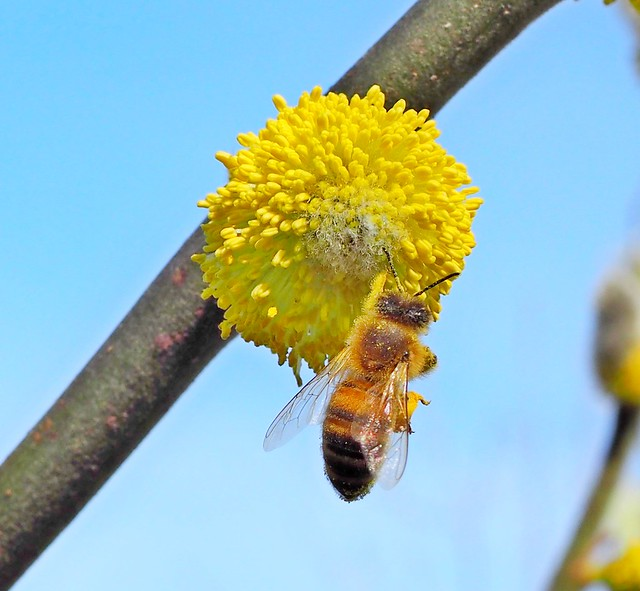 A honey bee combing yellow pollenon into the pollen baskets. The bee is hanging with one leg on a stamen.