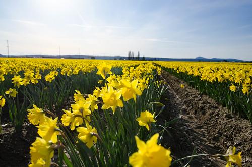 Skagit Daffodils-15