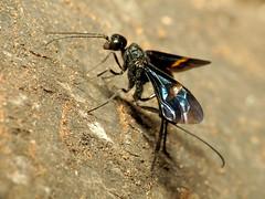 Black Aulacid Wasp Ovipositing