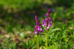 Favershams Early Purple Orchids - Orchis mascula.