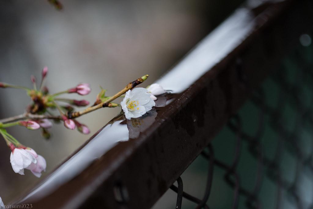 2018-03-20 雨の日の桜 001