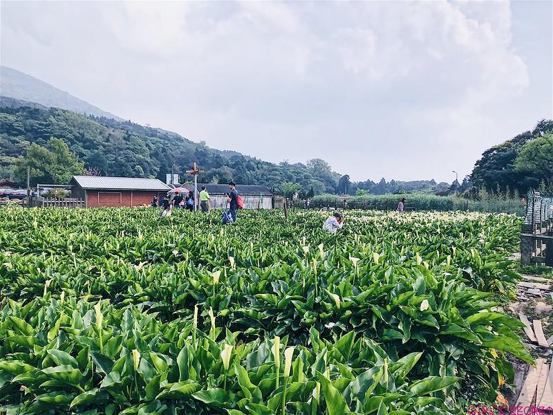 2018陽明山竹子湖海芋|步道海芋園