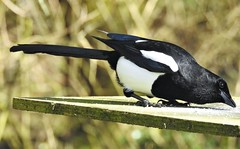 Magpie at Bird Table - Clara Vale Ponds