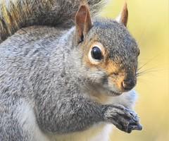 Grey Squirrel at Thornley Hide