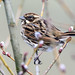 Reed Bunting / Female