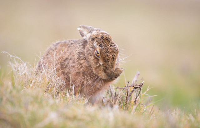 Brown Hare Eye to, Canon EOS 5D MARK IV, Canon EF 500mm f/4L IS