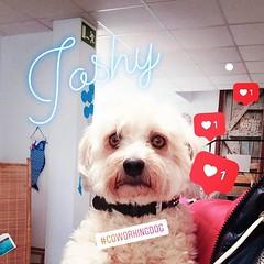 sweet Joshy - Coworking dog today :dog2: #coworkingdogs #mallorcagram #rayaworx
