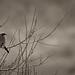 loggerhead shrike by chloesview