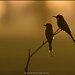Pair of Green Bee Eaters