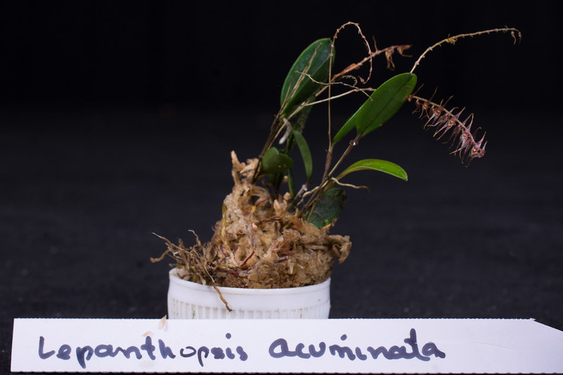 Orchideen-Neuzugang 2 40099663055_0bab458619_c