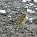 Robin in Mud and Snow