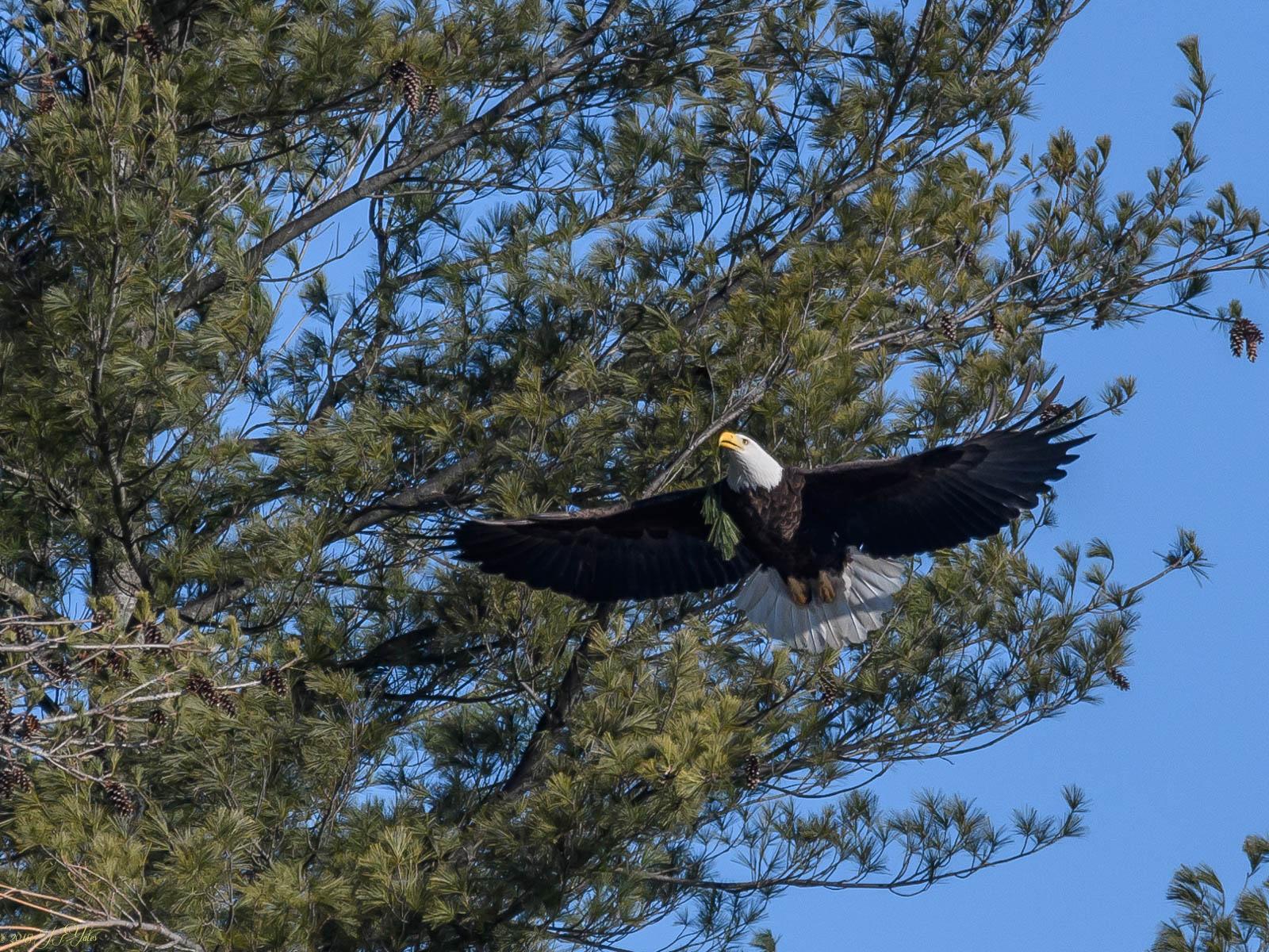 Bald Eagle with pine twig
